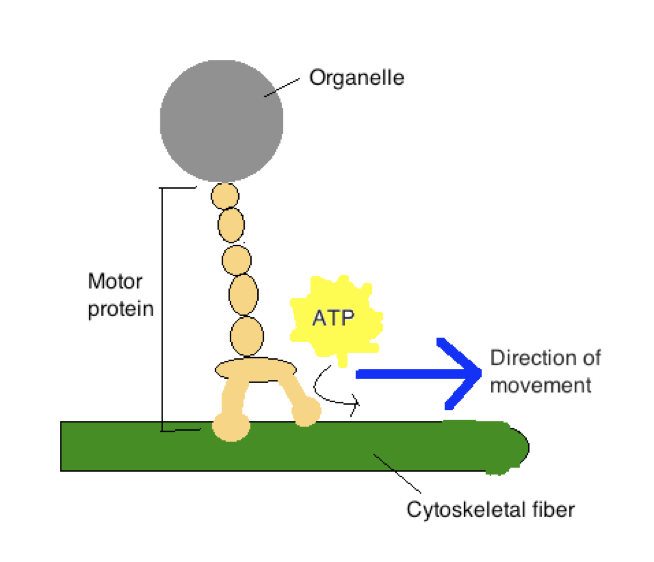 motor protein
